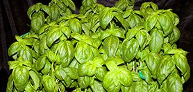 Control Plant Growth, Flavor, and Aroma