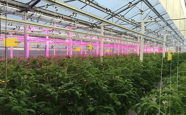 Supplemental LED Lighting Increases Winter Tomato Production in Central North Carolina Greenhouse
