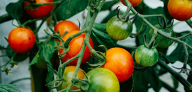 Increase Tomato Production and Accelerates Harvest