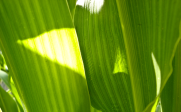 USDA Uses LumiGrow Spectral Strategies For Corn and Soy
