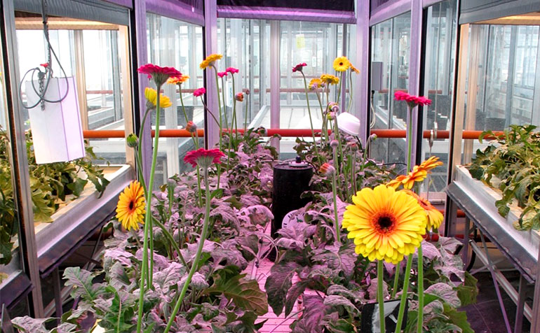 Evaluation of the Use of Light Emitting Diodes (LEDs) in the Production of Cut Gerbera