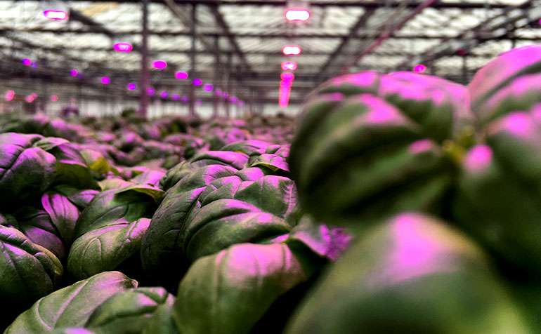Achieving Better Tasting Basil Grown with LumiGrow LEDs