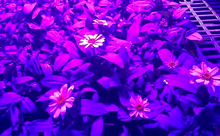 LEDs Control Growth and Flowering in Greenhouse Grown Zinnia Marylandia